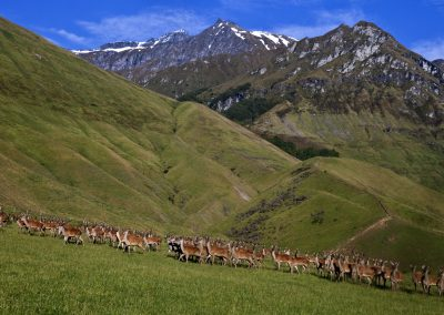 Cattle Flat Deer Farming Operation Matukituki Valley Central Ota